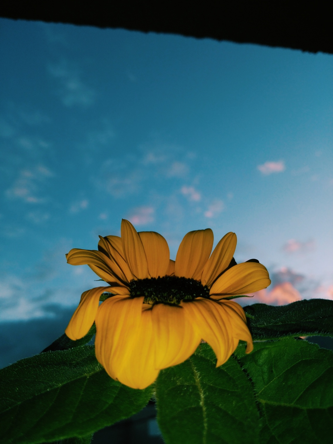 Sunflower Sunset Cute Flower Aesthetic Yellow Letthyy Vsco
